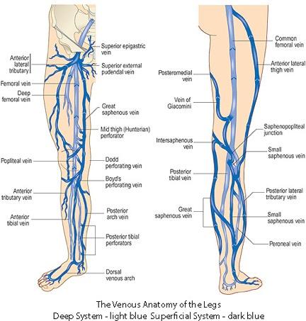 venousanatomy